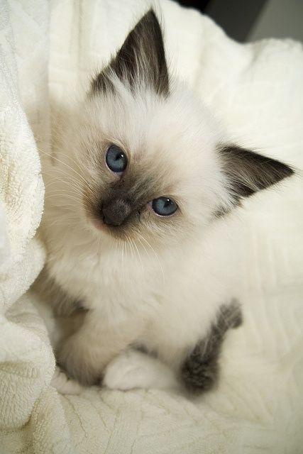 tipo de gato siames