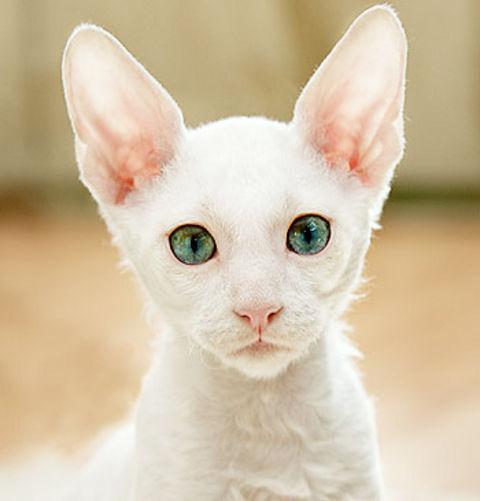 razas-de-gato-gatos-cornish-rex