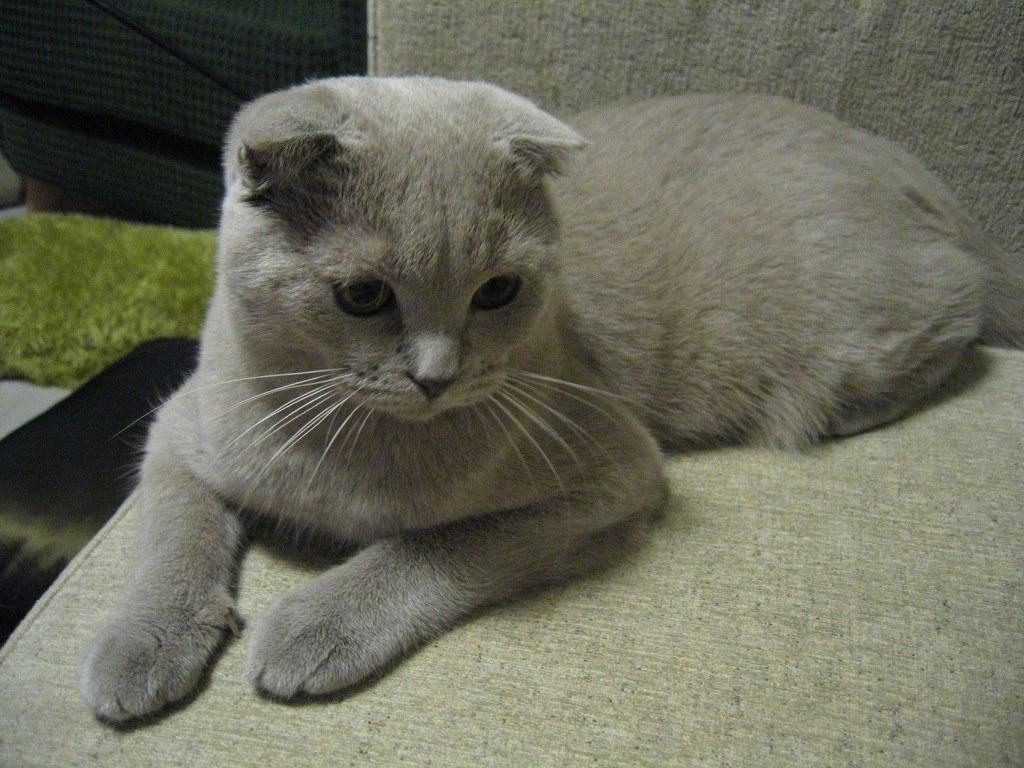 razas-de-gato-gatos-fold-escoces