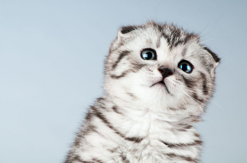 razas-de-gato-gatos-fold-escoces-caracteristicas