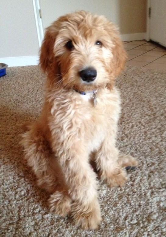 nuevas-razas-de-perro-Goldendoodle