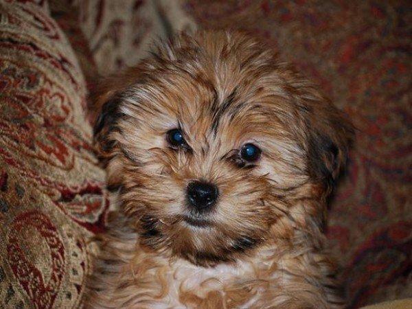 nuevas-razas-de-perro-Shorkietzu