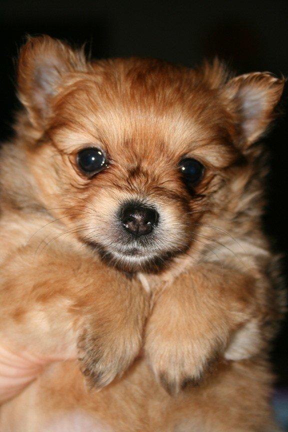 nuevas-razas-de-perro-Yoranian