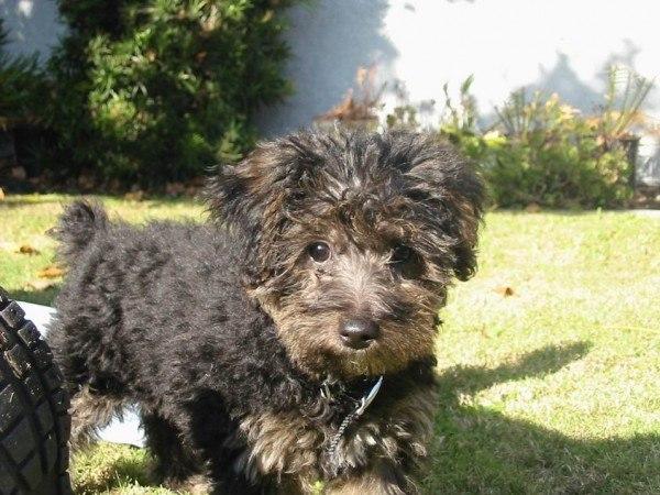 nuevas-razas-de-perro-Yorkie-Poo