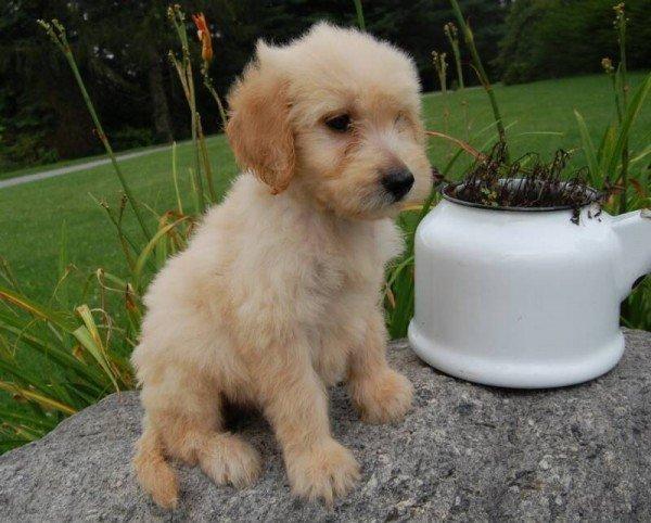 nuevas-razas-de-perro