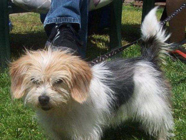 nuevas-razas-de-perro-peagle