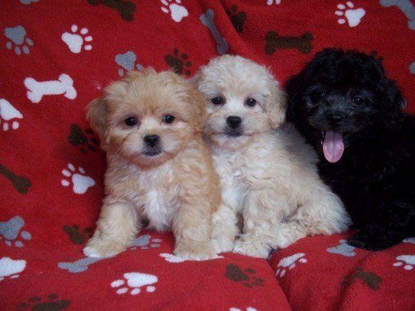 nuevas-razas-de-perro-peekapoo