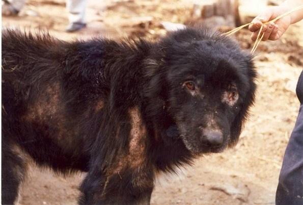 que-es-la-leishmaniosis-canina
