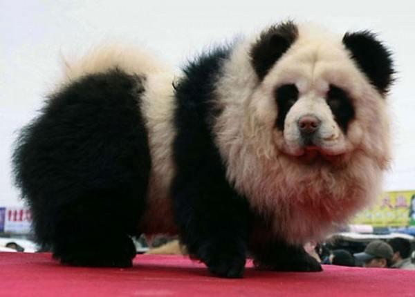 la-gran-moda-de-los-perros-panda-en-china