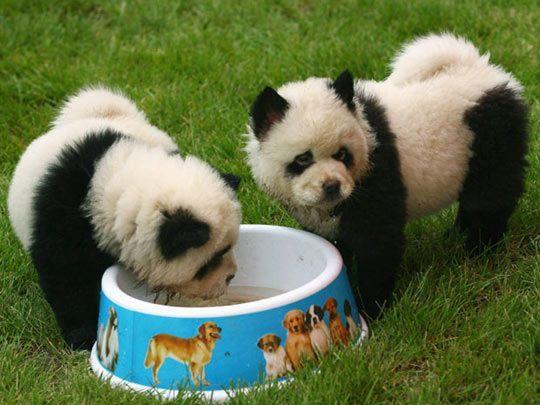 la-gran-moda-de-los-perros-panda-en-china-cahorros
