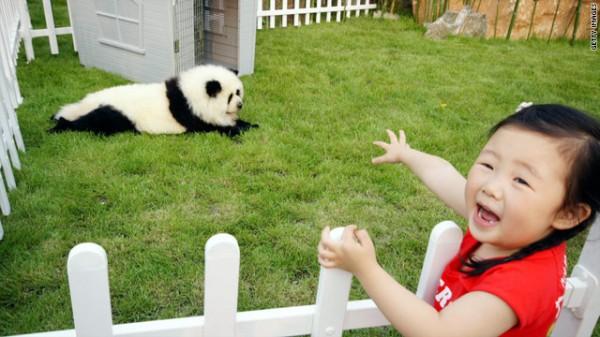 la-gran-moda-de-los-perros-panda-en-china-niña-en-tienda-de-animales-con-perro-panda