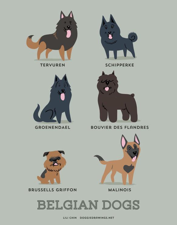 200-razas-de-perro-clasificadas-segun-su-pais-de-origen-perros-belgas