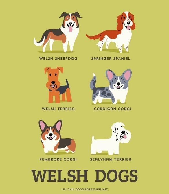 200-razas-de-perro-clasificadas-segun-su-pais-de-origen-perros-galeses