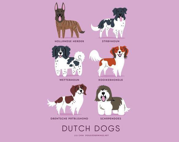 200-razas-de-perro-clasificadas-segun-su-pais-de-origen-perros-holandeses