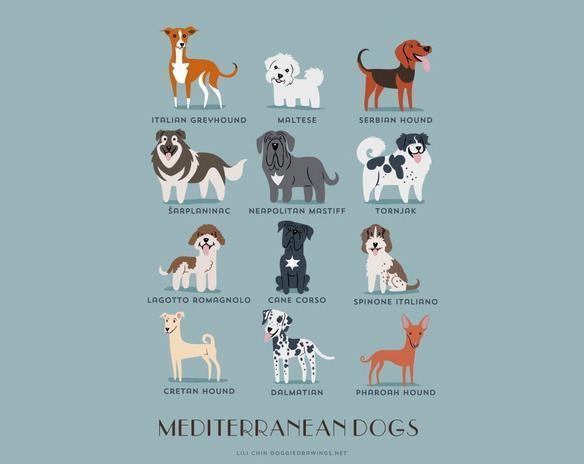 200-razas-de-perro-clasificadas-segun-su-pais-de-origen-perros-mediterraneos