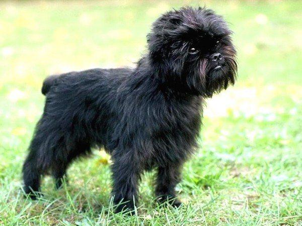 razas-de-perros-alemanes-affenpinscher
