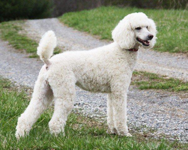 razas-de-perros-alemanes-caniche
