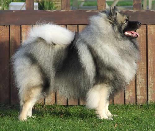 razas-de-perros-alemanes-keeshond