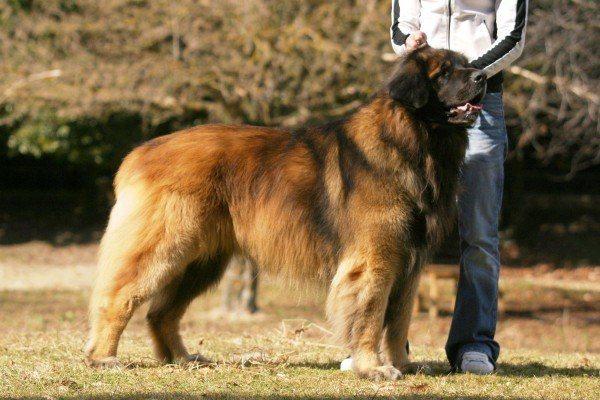 razas-de-perros-alemanes-leonberger