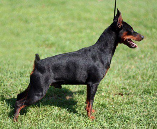 razas-de-perros-alemanes-pinscher-miniatura