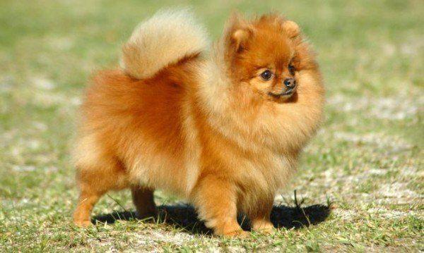 razas-de-perros-alemanes-pomerania