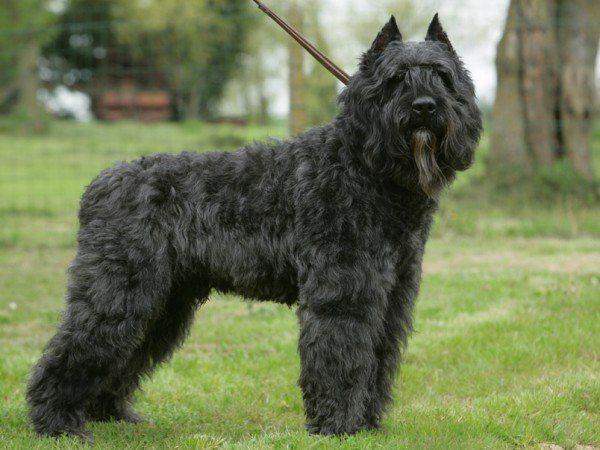 razas-de-perros-belgas-boyero-de-flandes