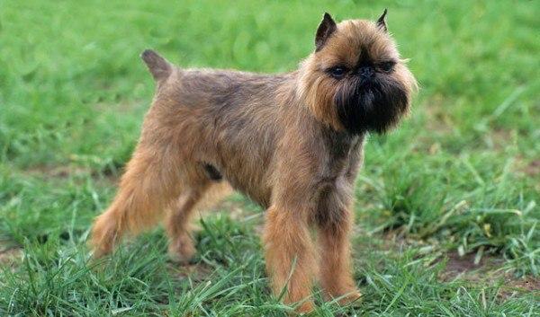 razas-de-perros-belgas-grifón-de-bruselas