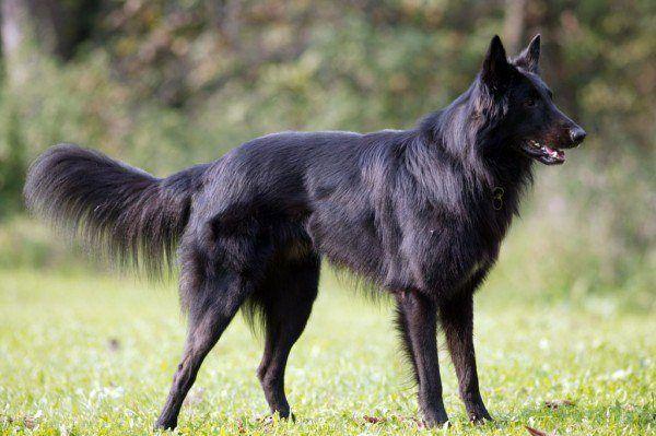 razas-de-perros-belgas-pastor-belga-groenendael
