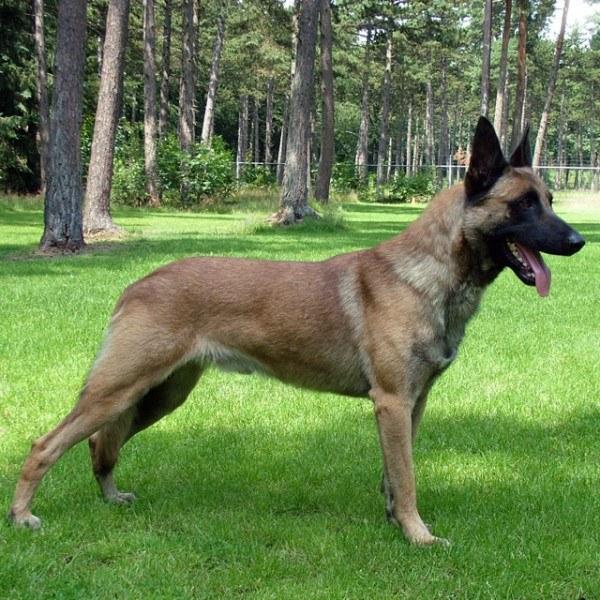 razas-de-perros-belgas-pastor-belga-malinois
