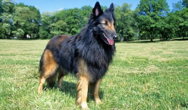 razas-de-perros-belgas-pastor-belga-tervuerense