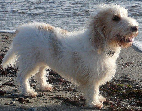 razas-de-perros-franceses-Grifon-Vandeano-bassett-pequeño
