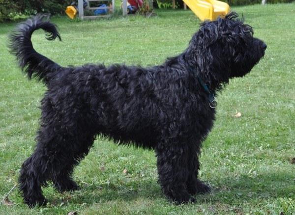 razas-de-perros-franceses-barbet