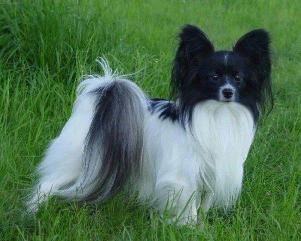 razas-de-perros-franceses-papillon