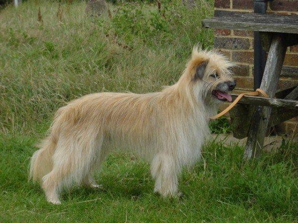 razas-de-perros-franceses-pastor-de-los-pirineos