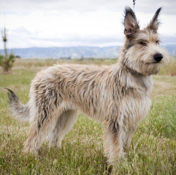 razas-de-perros-franceses-pastor-de-picardia