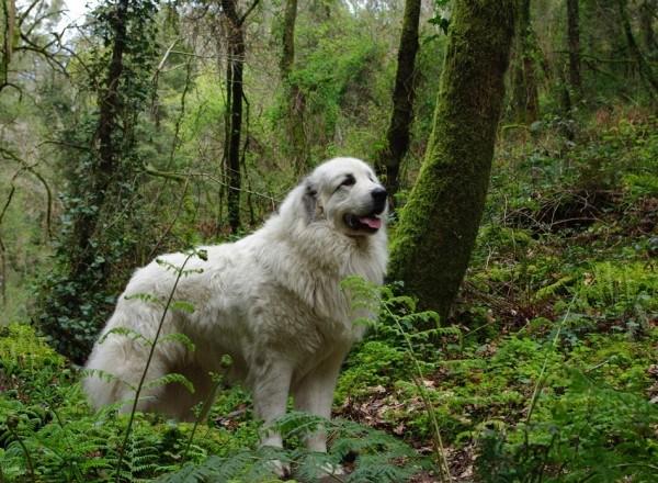 razas-de-perros-franceses-perro-de-montaña-de-los-pirineos