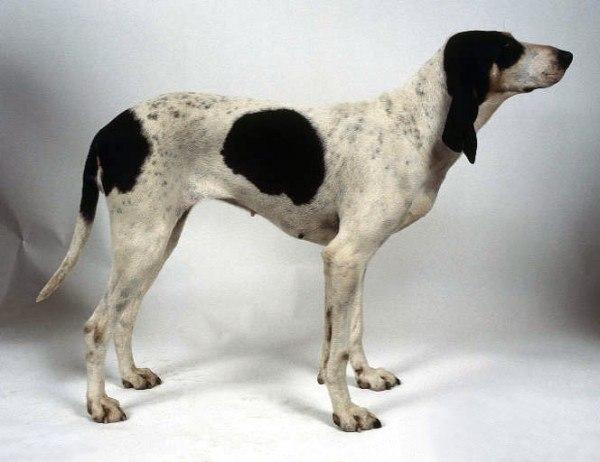 razas-de-perros-franceses-sabueso-del-ariege