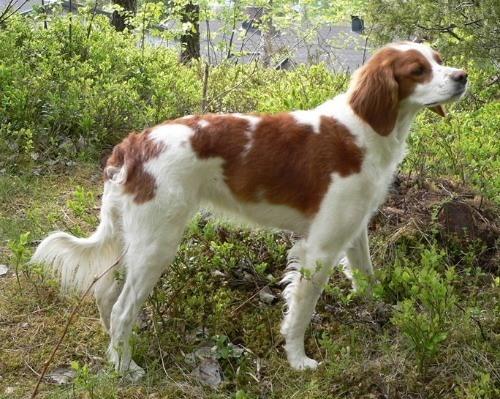 razas-de-perros-franceses-spaniel-breton