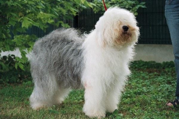 razas-de-perros-ingleses-bobtail