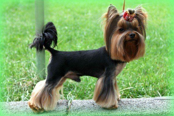 razas-de-perros-ingleses-yorkshire-terrier