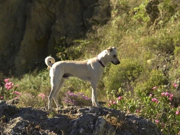 razas-de-perros-mediterraneos-kritikos-lagonikos
