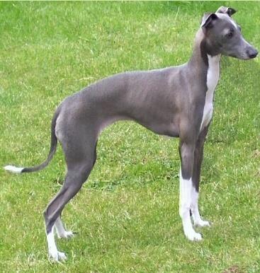 razas-de-perros-mediterraneos-lebrel-italiano