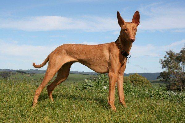 razas-de-perros-mediterraneos-pharaoh-hound
