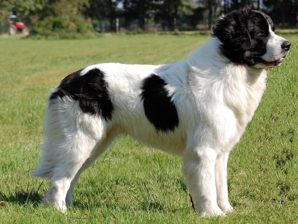 razas-de-perro-canadiense-landseer