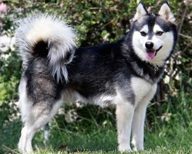 razas-de-perro-canadiense-perro-esquimal-canadiense