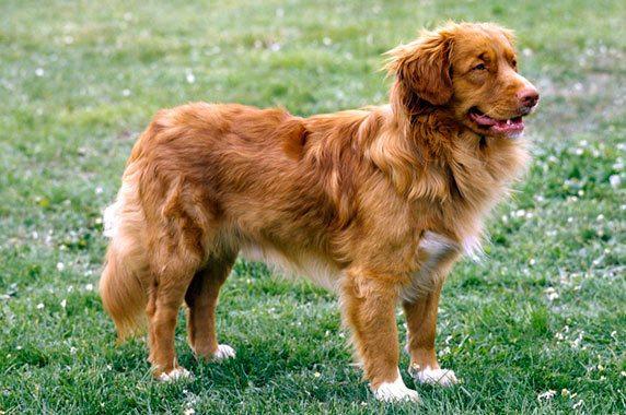 razas-de-perro-canadiense-retriever-de-nueva-escocia