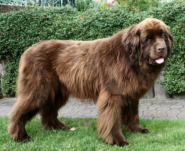 razas-de-perro-canadiense-terranova