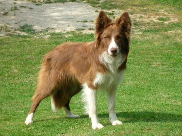 razas-de-perro-escoceces-border-collie