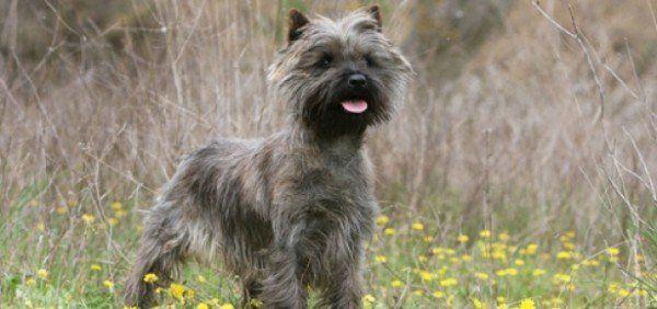 razas-de-perro-escoceces-cairn-terrier