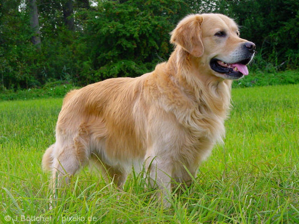 razas-de-perro-escoceces-golden-retriever